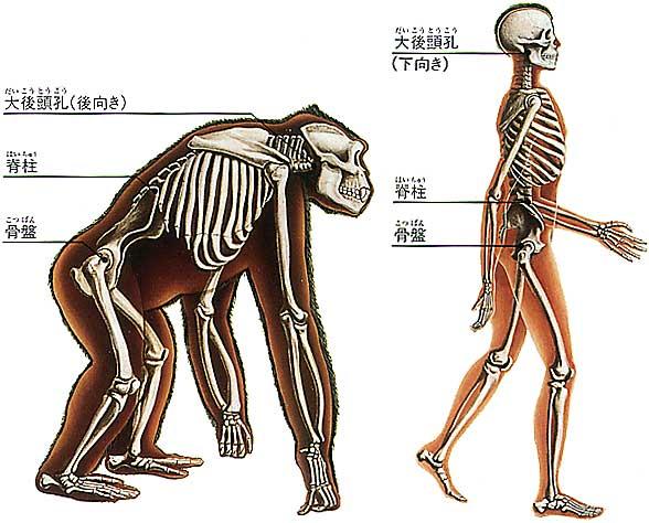 「人間の進化 骨盤」の画像検索結果